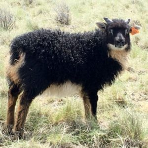 Copia Cove Icelandic Sheep | Unregistered Icelandic Lambs 2018 | Sheep for Sale