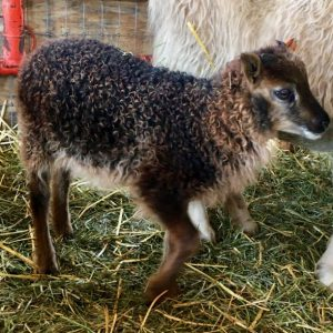 Copia Cove Icelandic Sheep   Unregistered Icelandic Lambs 2018   Sheep for Sale