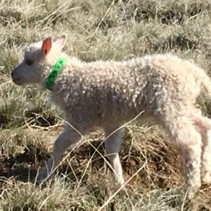 Copia Cove Icelandic Sheep | Registered Icelandic Lambs 2018 | Sheep for Sale