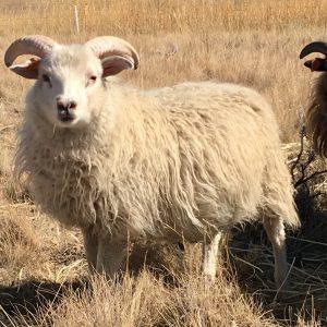 Copia Cove Icelandic Sheep | Butte Montana