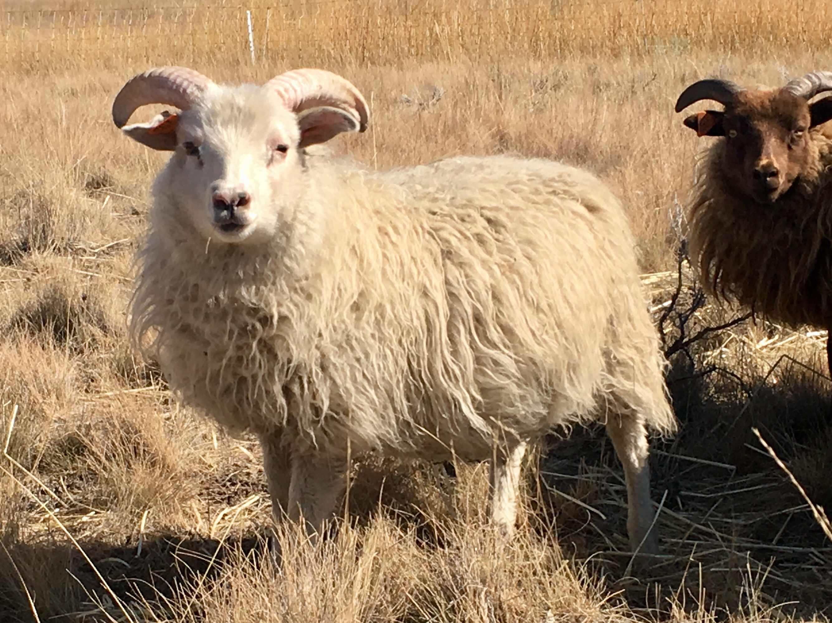 Copia Cove Icelandic Sheep | Butte Montana