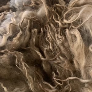 Copia Cove Icelandic Sheep | Icelandic Lamb Raw Fleece | Montana USA