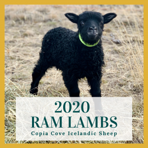 copia cove icelandic sheep ram lambs for sale 2020