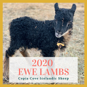 copia cove icelandic sheep ewe lambs for sale 2020