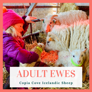 copia cove icelandic sheep ewes for sale 2020