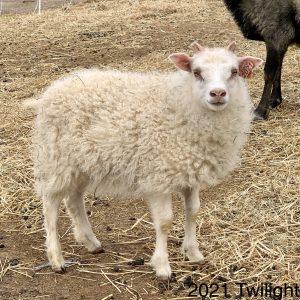 copia cove icelandic sheep ewe lamb for sale
