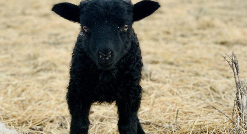 copia cove icelandic sheep butte montana usa